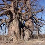 De Baobab boom Botswana