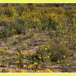 Bloemenpracht na een regenbui in de kalahari