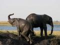 Modder olifanten Botswana