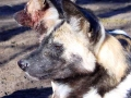 Botswana wilde-hond