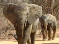 Dreigende olifant