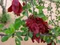 Bloedvrugboom Namibië