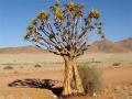 Bloeiende kokerboom Namibië