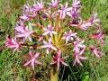Weidebloem Zuid-Afrika