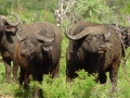 Big five buffel