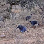 Kenia vogel