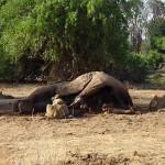 Kenia leeuwen