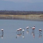 Flamingo's in het Lake Magadi