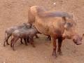 Kenia warthog