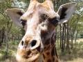 Kenia giraffe
