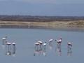 Kenia flamingo