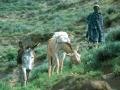Ezels Lesotho