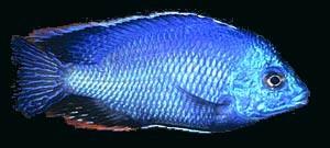 Cichlid Malawi