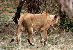 De leeuw Mozambique