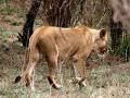 Leeuw Mozambique