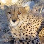 Namibie foto Cheetah