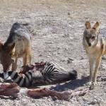 Namibie foto hyena