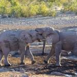 Namibie foto olifanten