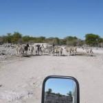 Namibie foto zebras