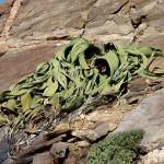 Namibie foto Welwitschsia