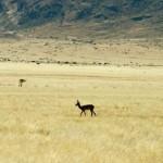 Bokkie Namibie