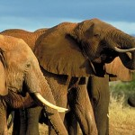 Olifanten Kalahariwoestijn