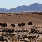 Struisvogels Namibie
