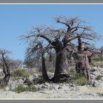 Baobabboom op Lekubuisl