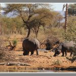 hippos en croc Namibie