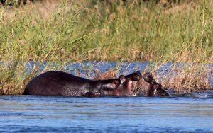 Het nijlpaard