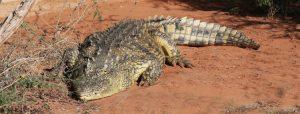 De eenzame krokodil