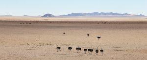 Struisvogels in de woestijn