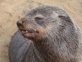 Namibië zeeleeuw 4