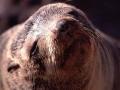 Namibië zeeleeuw 6