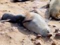 Namibië zeeleeuw 3