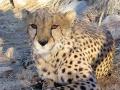 Namibie Cheetah