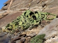 Namibie welwitsch