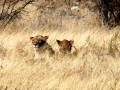 Leeuw Namibie