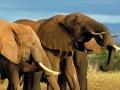 Namibie olifanten