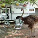 Swaziland foto struisvogel