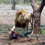 Swaziland foto Leeuw
