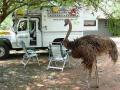 Struisvogel Swaziland