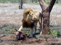 Leeuw Swaziland