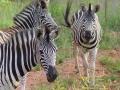 Zebras Swaziland