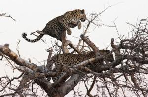 Luipaarden in boom
