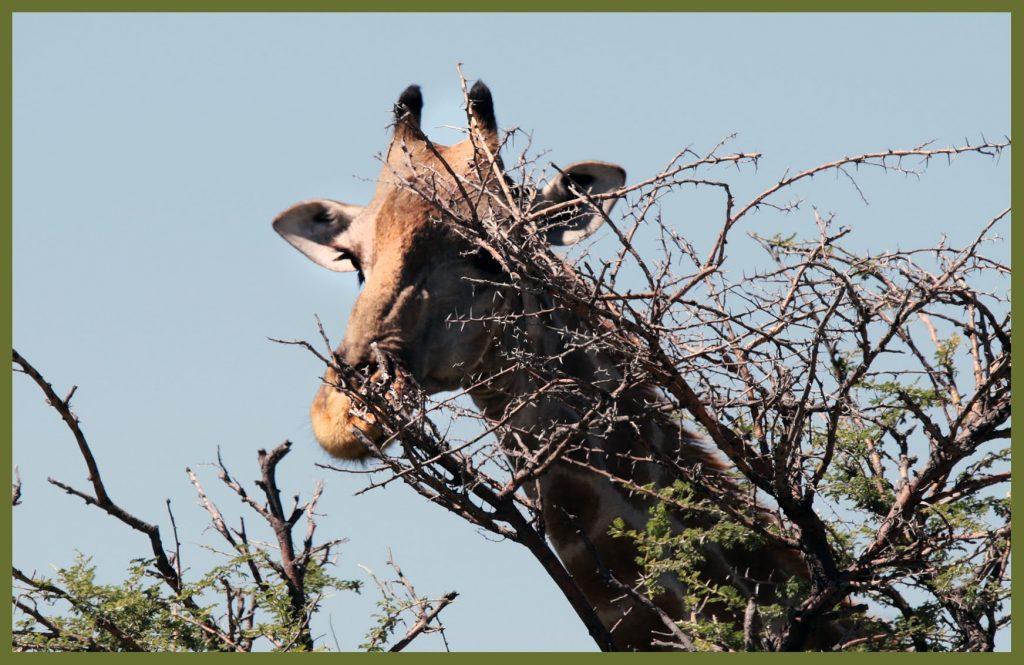 giraf - etosha