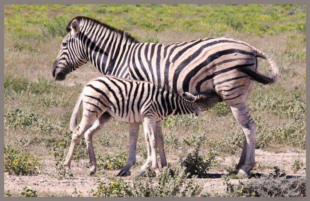 zebra met veulen
