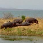Zimbabwe nijlpaarden