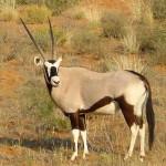 Foto ZuidAfrika gemsbok