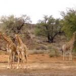 Foto Zuid Afrika giraffe